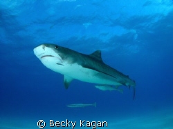 Respect. This large 14 foot female Tiger shark cruised by... by Becky Kagan 